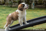 "Three month old Saint Bernard puppy ""Mauna Kea"" walking up a ramp from his lawn to the deck in Renton, Washington, USA"