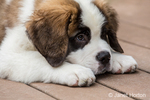 """Three month old Saint Bernard puppy """"Mauna Kea"""" looking tired as he rests on his deck after playtime, in Renton, Washington, USA"""