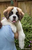 "Woman holding her three month old Saint Bernard puppy ""Mauna Kea"" over her shoulder, in Renton, Washington, USA"