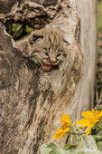 Baby bobcat in a hollow log with Mules Ear wildflowers. Captive animal.