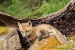 Red Fox kits peering out of its den near Bozeman, Montana, USA.  Captive animal.