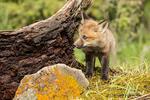 Red Fox kits standing beside its den, near Bozeman, Montana, USA.  Captive animal.