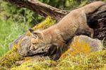 Red Fox kit exploring beside its den, near Bozeman, Montana, USA.  Captive animal.