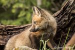 Red Fox kit standing outside its den near Bozeman, Montana, USA.  Captive animal.