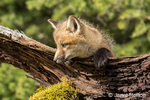 Red Fox kit peering over a log above its den, near Bozeman, Montana, USA.  Captive animal.