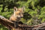 Red Fox kit peering over a log above its den, near Bozeman, Montana, USA.  Captive animal.