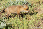 Red Fox kits near Bozeman, Montana, USA.  Captive animal.