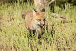 Red Fox kits exploring the meadow near its den, near Bozeman, Montana, USA.  Captive animal.