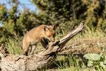 Red Fox kit sniffing a log above its den, near Bozeman, Montana, USA.  Captive animal.