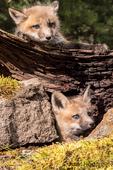 Two Red Fox kits near the entrance to their den, near Bozeman, Montana, USA.  Captive animal.