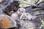 Two Canada Lynx kittens cuddling together to keep warm, near Bozeman, Montana, USA.  Captive animal.