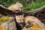 Two Red Fox kits near the entrance to their den, near Bozeman, Montana, USA.  Captive animal.