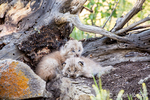 Two Canada Lynx kittens cuddling together to keep warm, near Bozeman, Montana, USA.  Captive animal.
