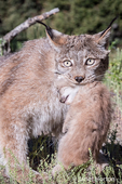 Canada Lynx mother carefully carrying her kitten near Bozeman, Montana, USA.