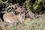 Alert Canada Lynx mother holding her kitten near Bozeman, Montana, USA.