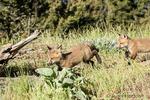 Red Fox kits exploring the meadow near their den, near Bozeman, Montana, USA.  Captive animals.