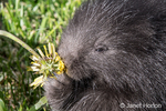 Close-up of a baby Common Porcupine (porcupette or pup) eating a dandelion near Bozeman, Montana, USA.  Captive animal.