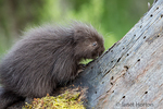 Baby Common Porcupine (porcupette or pup) climbing a dead tree near Bozeman, Montana, USA.  Captive animal.