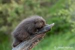 Baby Common Porcupine (porcupette or pup) climbing a dead tree near Bozeman, Montana, USA.  Captive animal.