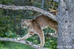 Adult Canada Lynx climbing in a tree near Bozeman, Montana, USA.  Captive animal.