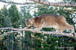 Adult Canada Lynx climbing out onto a branch near Bozeman, Montana, USA.  Captive animal.