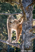 Adult Canada Lynx climbing in a tree, showing what big paws it has, near Bozeman, Montana, USA.