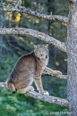 Adult Canada Lynx climbing in a tree near Bozeman, Montana, USA.  Captive animal.