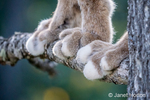 Close-up of the paws of a Canadian Lynx in a tree in Bozeman, Montana, USA.