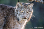 Portrait of a backlit Canada Lynx sitting in a tree looking for prey, in Bozeman, Montana, USA.  Captive animal.