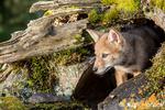Gray Wolf pup standing in his den entrance near Bozeman, Montana, USA.  Captive animal.
