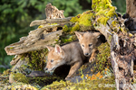 Two Gray Wolf pups looking out from their den entrance near Bozeman, Montana, USA.  Captive animal.