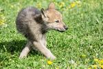 Gray Wolf pup unsure what he wants to do, near Bozeman, Montana, USA.  Captive animal.