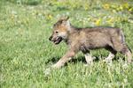 Gray Wolf pup walking in a meadow near Bozeman, Montana, USA.  Captive animal.
