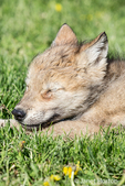 Gray Wolf pup napping in a meadow near Bozeman, Montana, USA.  Captive animal.