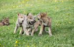 Litter of Gray Wolf pups play fighting in a meadow, near Bozeman, Montana, USA.  Captive animal.
