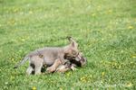 Litter of Gray Wolf pups play fighting in a meadow, near Bozeman, Montana, USA.  Captive animal.