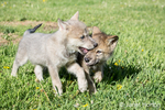 Two Gray Wolf pups biting each other as they walk in a meadow, near Bozeman, Montana, USA.  Captive animal.