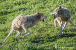 Two Adult Gray Wolves trying to establish dominance as they wrestle in a meadow, near Bozeman, Montana, USA.  Captive animal.