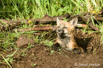 Red Fox kit sitting in den entrance in Bozeman, Montana, USA.  Captive animal.