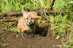 Red Fox kit with tongue out, sitting in den entrance in Bozeman, Montana, USA.  Captive animal.