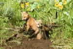 Two Red Fox kits at den entrance in Bozeman, Montana, USA.  Captive animal.