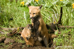 Two Red Fox kits fighting in their den entrance near Bozeman, Montana, USA.  Captive animal.