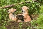 Two Red Fox kits fighting in their den entrance near Bozeman, Montana, USA.  Captive animal.