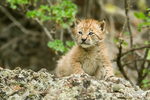 Siberian Lynx kitten climbing on rocks in Bozeman, Montana, USA.  Captive animal.  Range is Northern and Central Asia to Siberia.  They initially have plain, greyish-brown fur, attaining the full adult colouration around eleven weeks of age.
