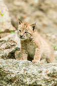 Siberian Lynx kitten climbing on rocks in Bozeman, Montana, USA.
