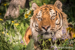 Portrait of a Siberian Tiger at rest in a meadow in Bozeman, Montana, USA.  Captive animal.