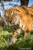 Portrait of a Siberian Tiger walking through a meadow in Bozeman, Montana, USA.  Captive animal.