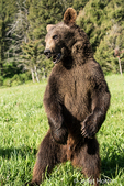 Grizzly Bear standing in a meadow near Bozeman, Montana, USA.  Captive animal.