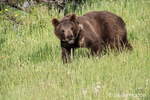 Young Grizzly Bear walking in a meadow near Bozeman, Montana, USA.  Captive animal.
