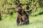 Grizzly Bear near Bozeman, Montana, USA.  Captive animal.